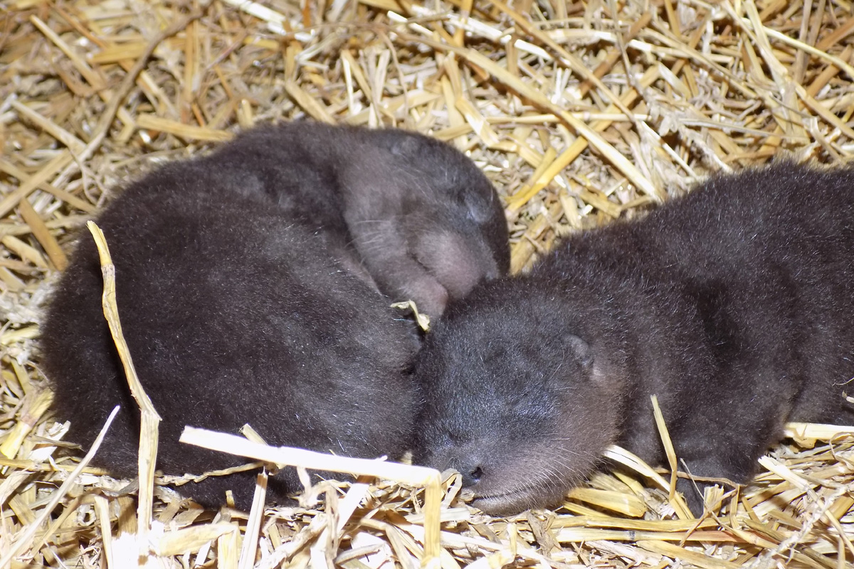 Baby Otters Give Washington Park Zoo Something to Roar About!